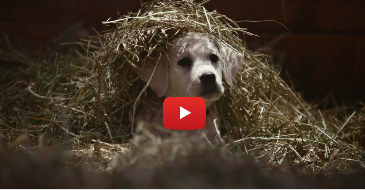 Budweiser releases very emotional Super Bowl commercial featuring puppies and Clydesdales