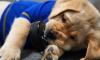 St. Louis Hockey Dog