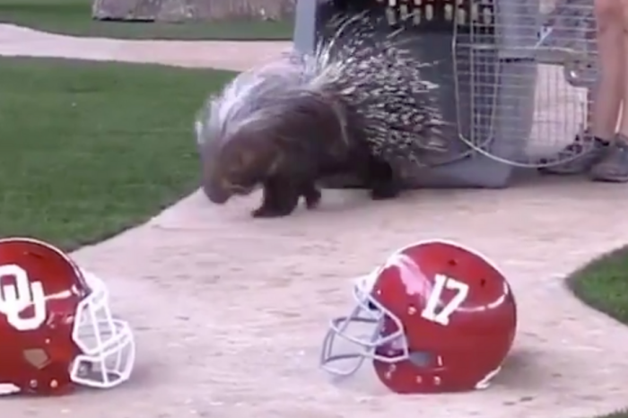 Uh Oh! This Porcupine Thinks an Orange Bowl Team is in Big Trouble