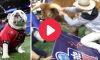 Bevo Attacks Uga, Sugar Bowl (1)