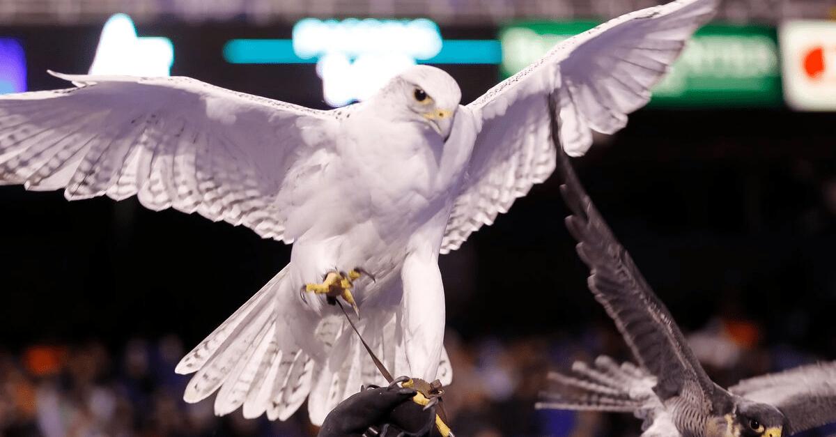 Air Force's 23-Year-Old Falcon Mascot, Aurora, Dies