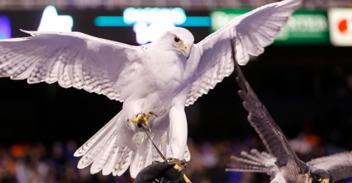 Air Force's 23-Year-Old Falcon Mascot, Aurora, Dies