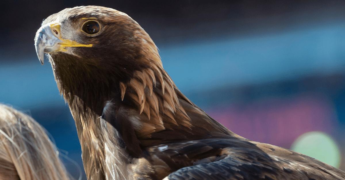 Aurea, Auburn's New War Eagle, Ready to Take Flight Next Season